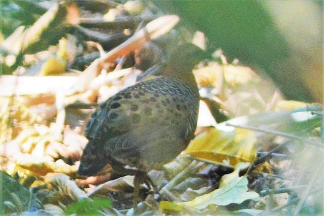 Ferruginous Partridge