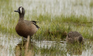 - Blue-winged Teal