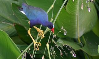 - Purple Gallinule