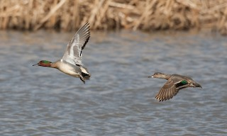 - Green-winged Teal (American)