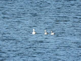 Ross's Goose, ML277676171