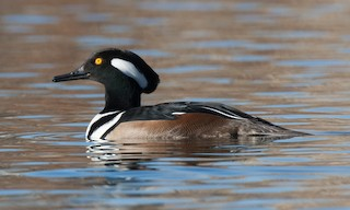 - Hooded Merganser