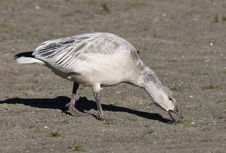 Snow Goose, ML277876091