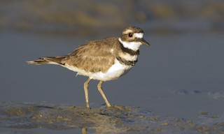 - Killdeer