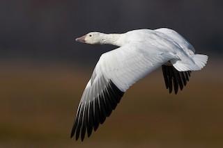 Snow Goose, ML278133501