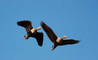 Black-bellied Whistling-Duck (autumnalis)
