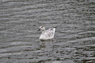 Snow Goose, ML278547521