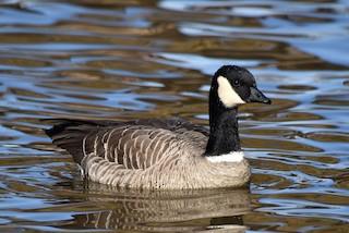Cackling Goose, ML278733551