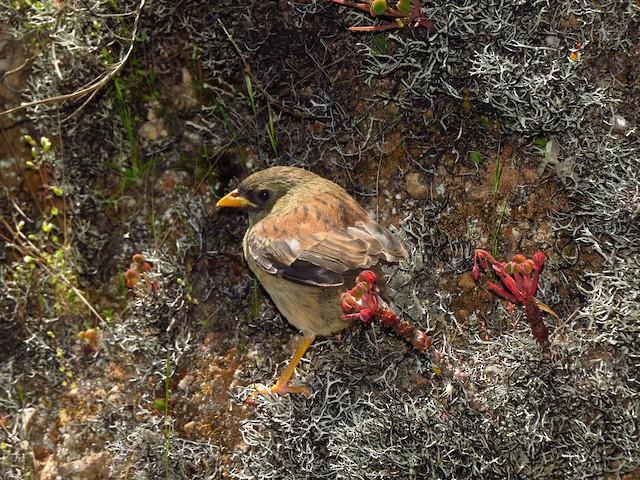 Rufous-backed Inca-Finch