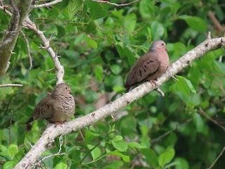 Common Ground Dove, ML279088501