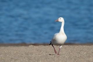 Snow Goose, ML279502441