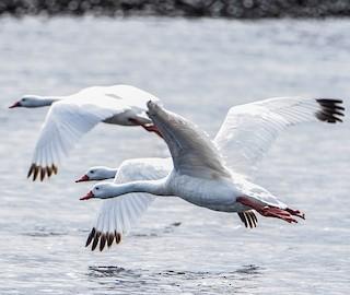 Coscoroba Swan, ML279706711