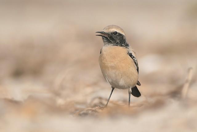 ©Sérgio  MOREIRA - Desert Wheatear