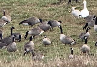 Cackling Goose, ML279981531