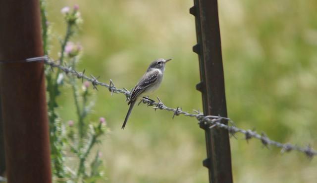 Gray Flycatcher