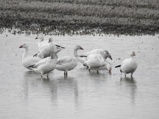 Snow Goose, ML28008991