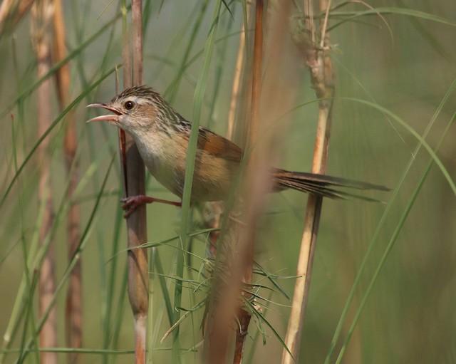 Indian Grassbird