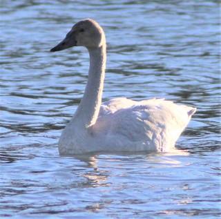 Tundra Swan, ML280261811