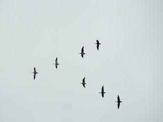 Snow Goose, ML280391841