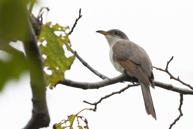 Yellow-billed Cuckoo