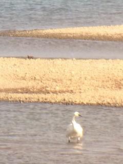Tundra Swan, ML280433101