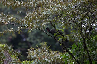 Crested Guan, ML280469931