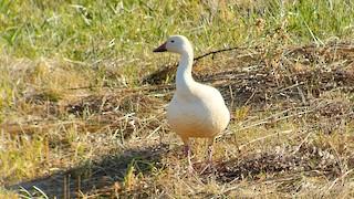 Snow Goose, ML280552121
