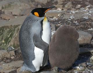 King Penguin, ML28062571