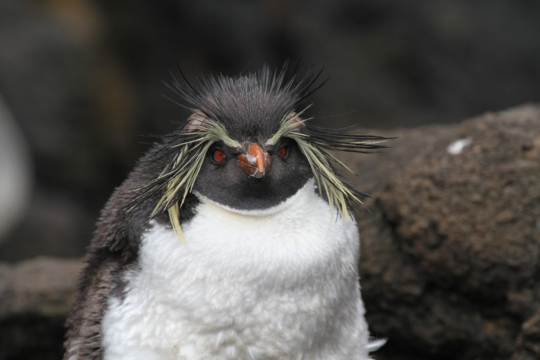 Moseley's Rockhopper Penguin - James (Jim) Holmes