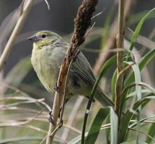 - Nightingale Island Finch