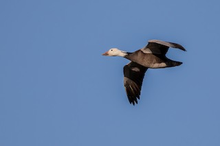 Snow Goose, ML280695411