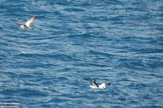 Kelp Gull (austrinus), ML280939661