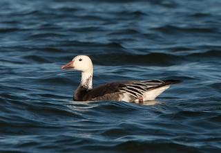 Snow Goose, ML281441811
