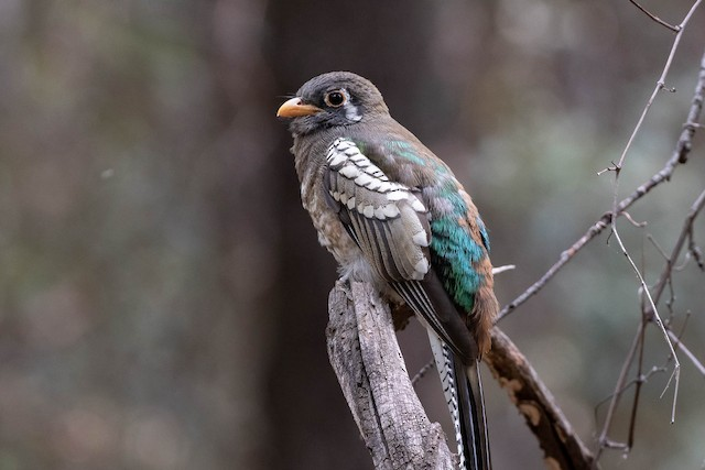 Elegant Trogon (Coppery-tailed)