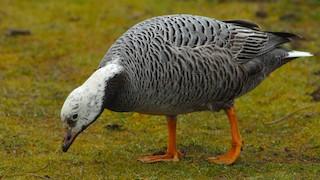 Emperor Goose, ML281966311