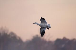 Snow Goose, ML282110041