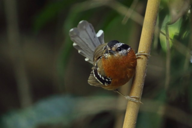 Bertoni's Antbird