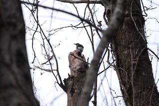 Red-headed Woodpecker, ML282291701