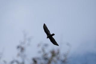 Turkey Vulture, ML282291801