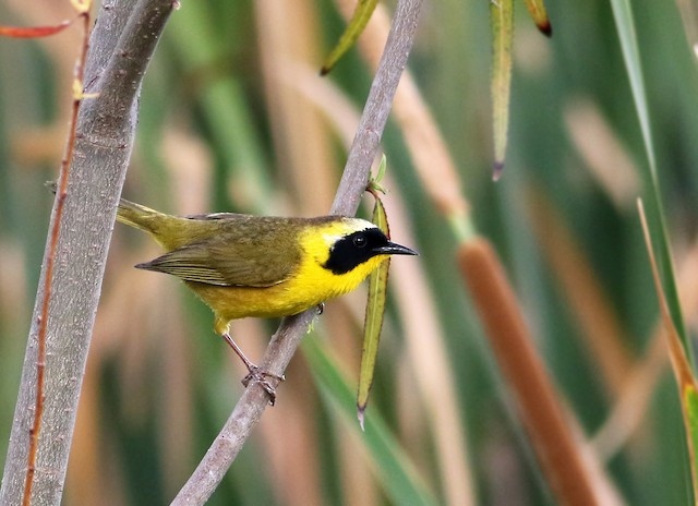 Common Yellowthroat (chapalensis)