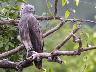 - Lesser Fish-Eagle
