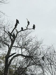 Turkey Vulture, ML282959841