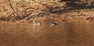 Wood Duck, ML282976771