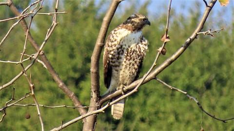 Red-tailed Hawk - Lena Hayashi