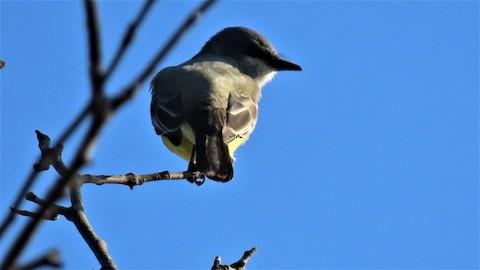 Cassin's Kingbird - Lena Hayashi