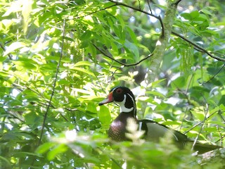 Wood Duck, ML28313991