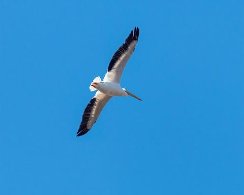 American White Pelican - James Kendall
