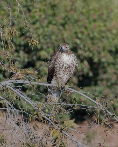Red-tailed Hawk - James Kendall