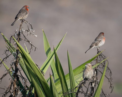 House Finch - James Kendall