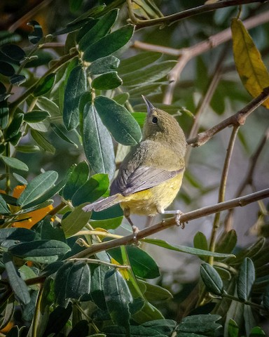 Orange-crowned Warbler - James Kendall